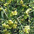 Beauty Glossary - Ma Huang also know as Ephedra