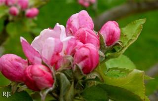 Summer Flowers - Apple Blossom